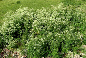 A patch of poison hemlock growing on the banks of the Auglaize River near Delphos. (Submitted photo)